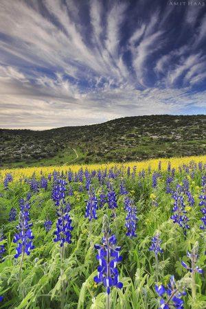 הטבע חושף את כל יופיו בתמונה העשירה ברבדים ובצבעים: שדה פורח בסגול ובצהוב, גבעת טרשים ירוקה ושמיים תכולים. ככל שמתארך המבט, כך מתגלים עוד ועוד פרטים בתמונה מרהיבה זו, שתכניס עניין ועומק לביתכם